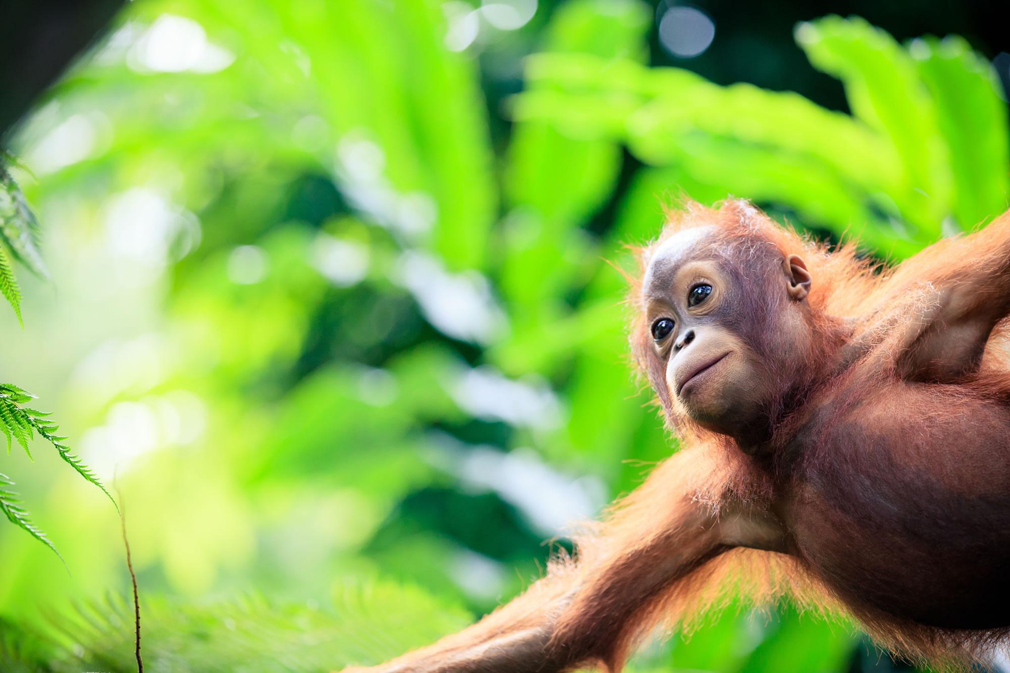 Watch Wild Orangutans in Borneo