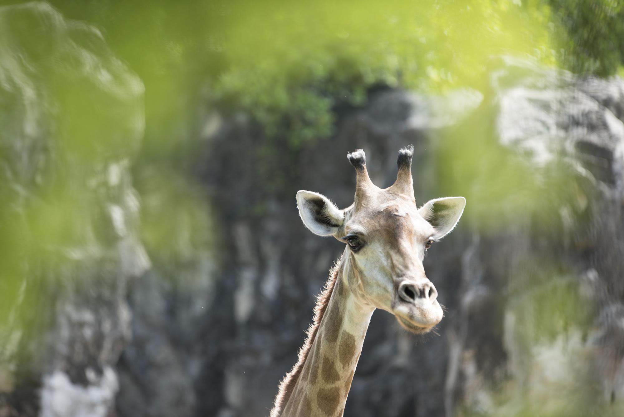 Stay The Night At Giraffe Manor In Kenya